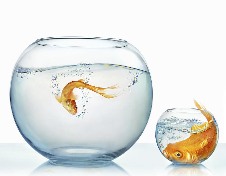 Large and small goldfish Photograph by Gandee Vasan