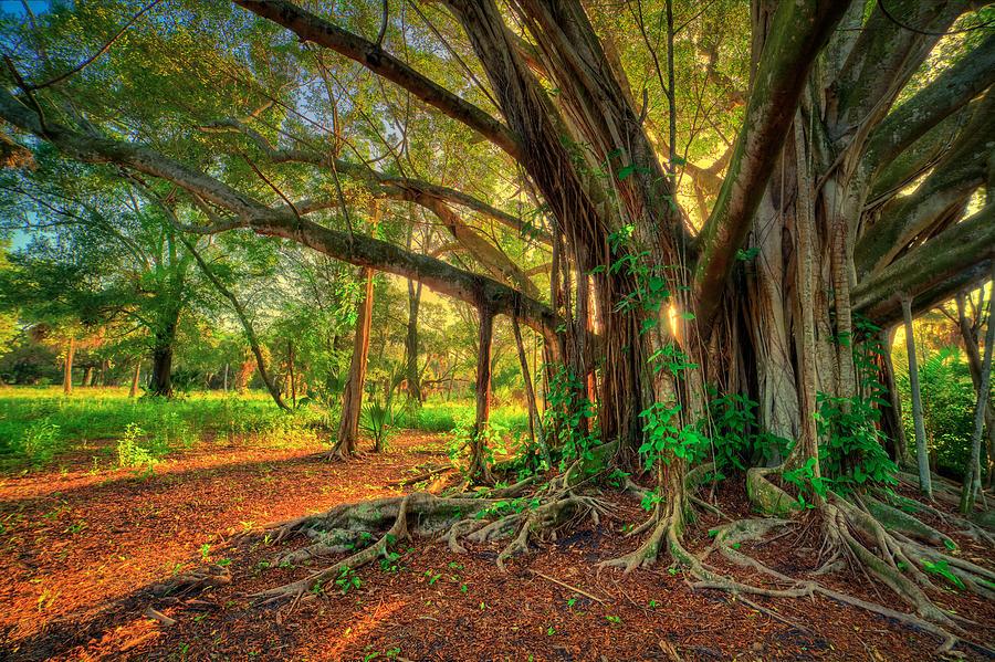 Banyan Tree Photograph - Large Banyan Tree at Riverbend Park Jupiter Florida by Kim Seng