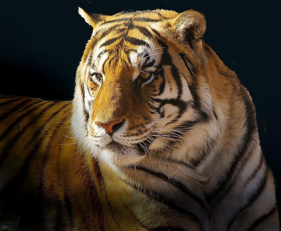 Bengal Tiger Photograph - Large Cat Beauty by JAXINE Cummins
