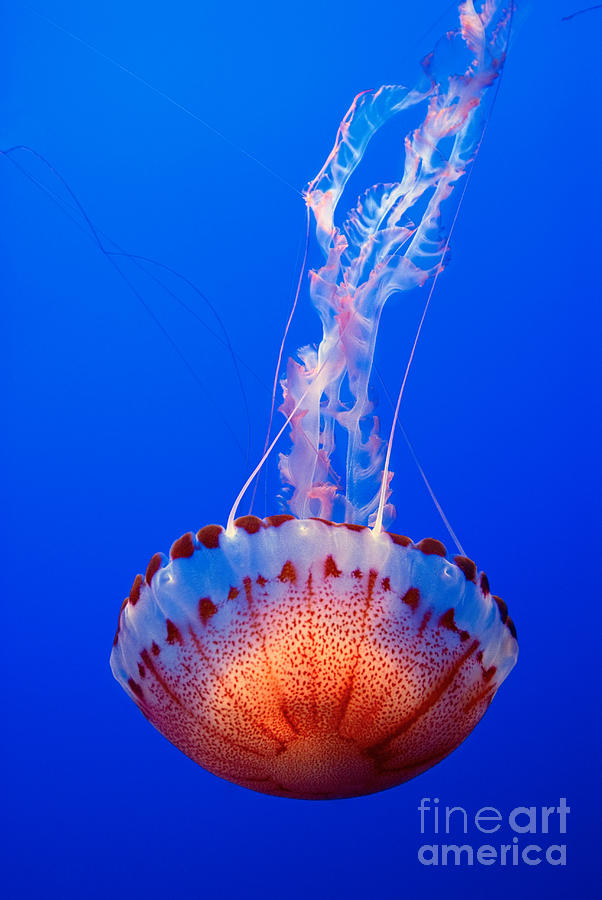 Jellyfish Photograph - Large Colorful Jellyfish Atlantic Sea Nettle Chrysaora Quinquecirrha  by Jamie Pham
