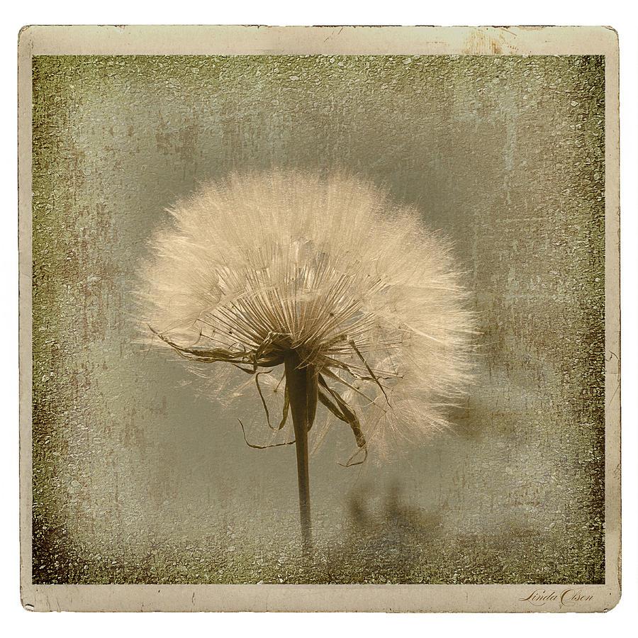 Flower Photograph - Large Dandelion by Linda Olsen