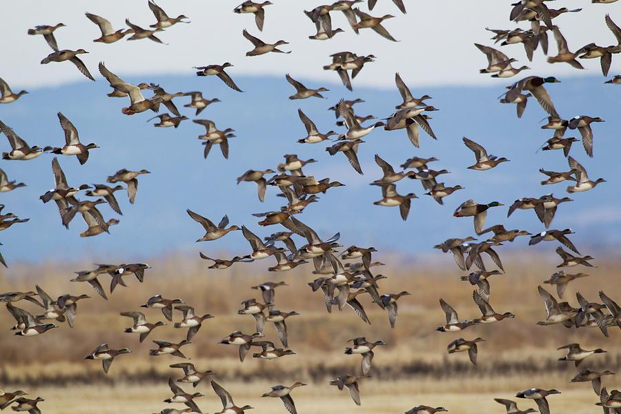 Brant Photograph - Large Flock Of Ducks by Ken Archer