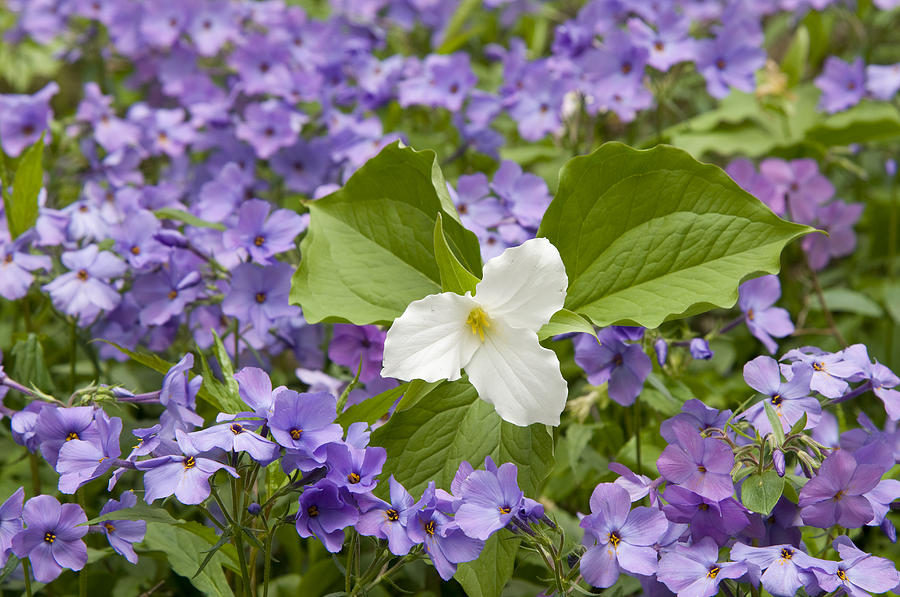 Large-flowered Trillium Great Smoky Mts Photograph by Steve Gettle