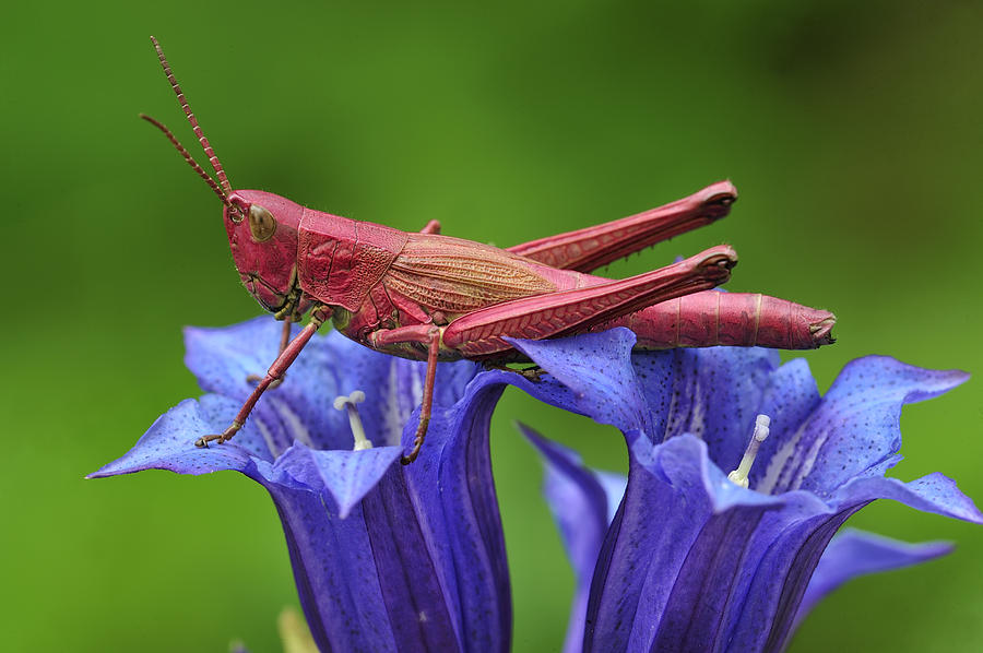 Large Gold Grasshopper Female Photograph by Thomas Marent