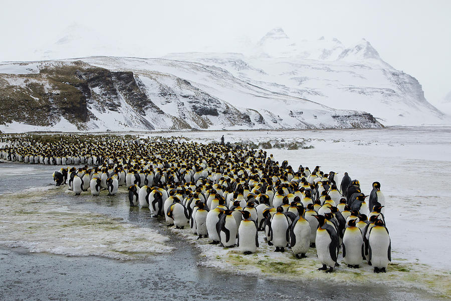 Large Group King Penguins Landscape Photograph by Darrell Gulin