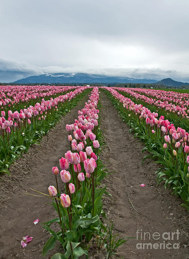 Landscape Photograph - Large Pink Tulip Field by Valerie Garner