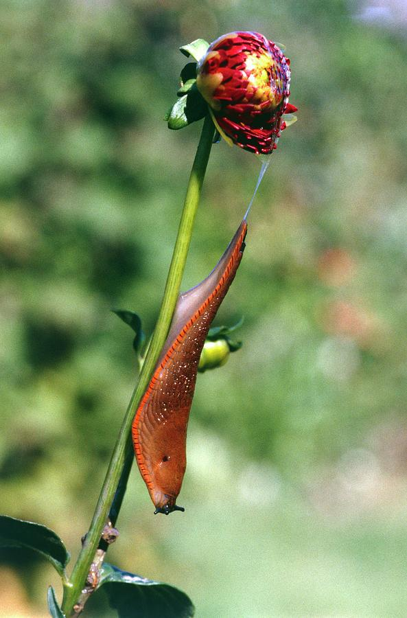 Orange Photograph - Large Slug On Dahlia Plant by Brian Gadsby/science Photo Library