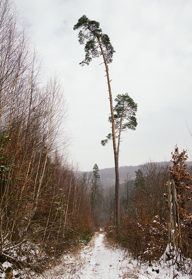Winter Photograph - Large Trees In The Nature Park In Winter by Matthias Hauser
