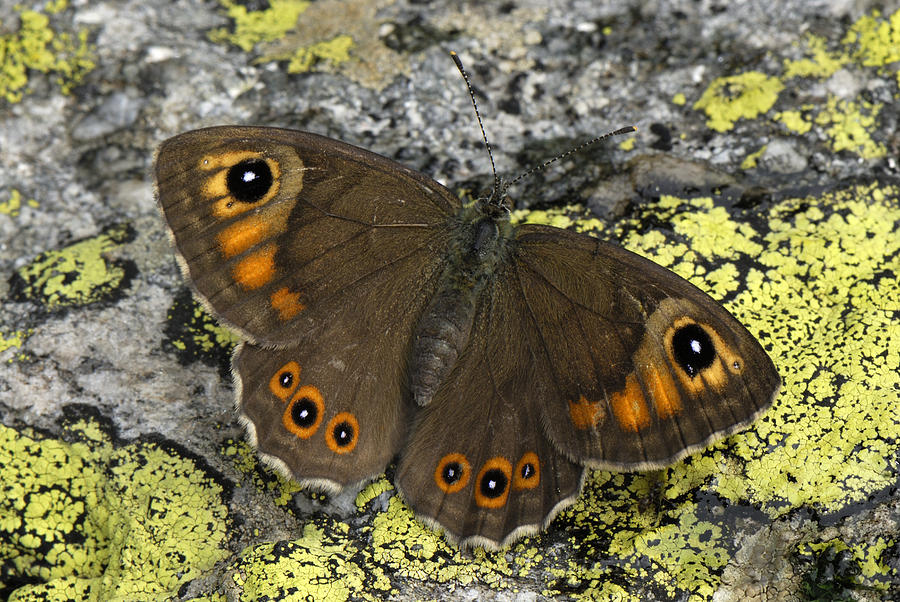 Large Wall Brown Butterfly Switzerland Photograph by Thomas Marent