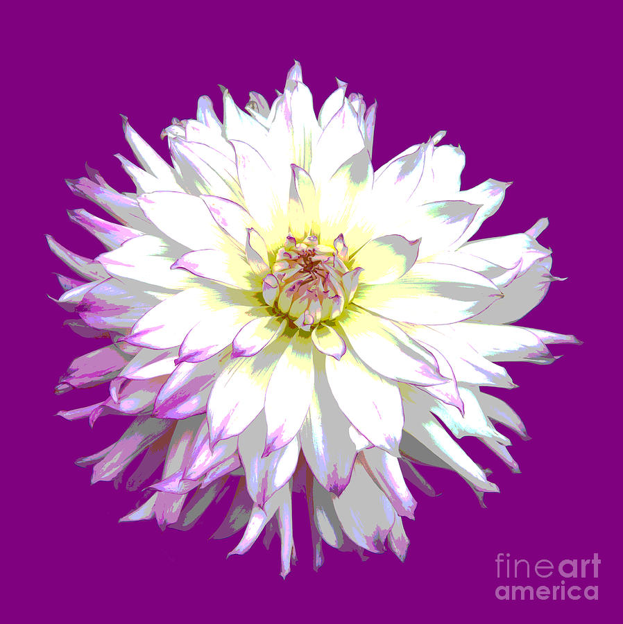 Dahlia Digital Art - Large White Dahlia On Purple Background. by Rosemary Calvert