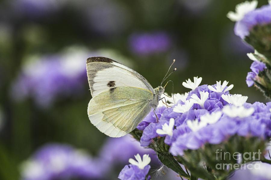 Large White Photograph - Large White Pieris Brassicae  by Eyal Bartov