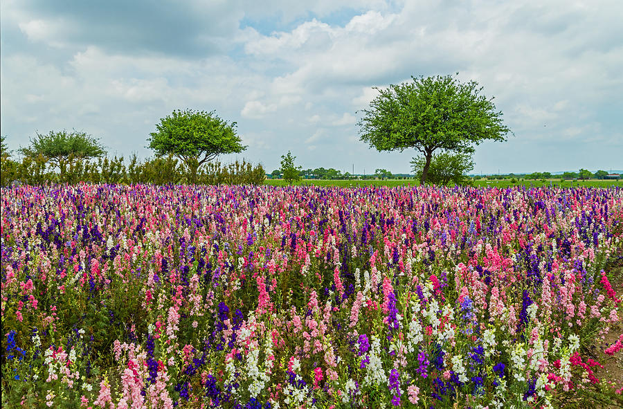 Texas Photograph - Larkspur Fields Forever by Lynn Bauer