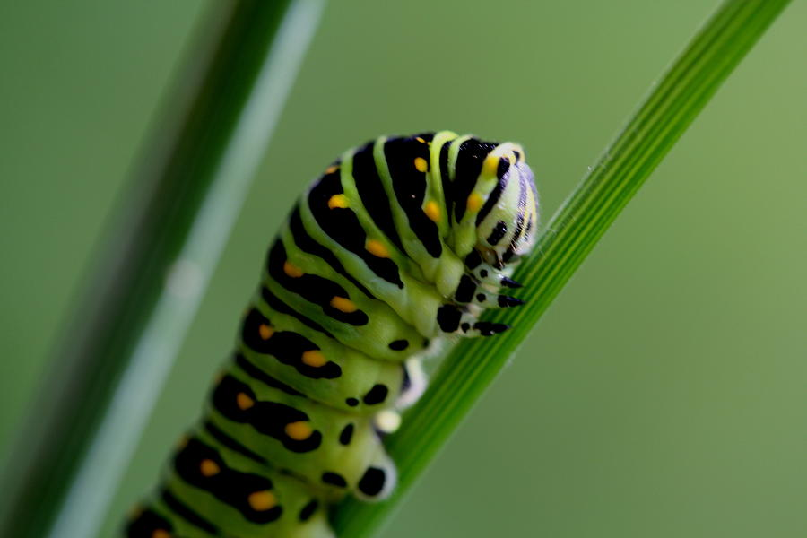 Summer Photograph - Larva...caterpillar  by Larry Trupp