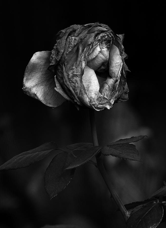 last breath of a dying rose photograph by robert woodward