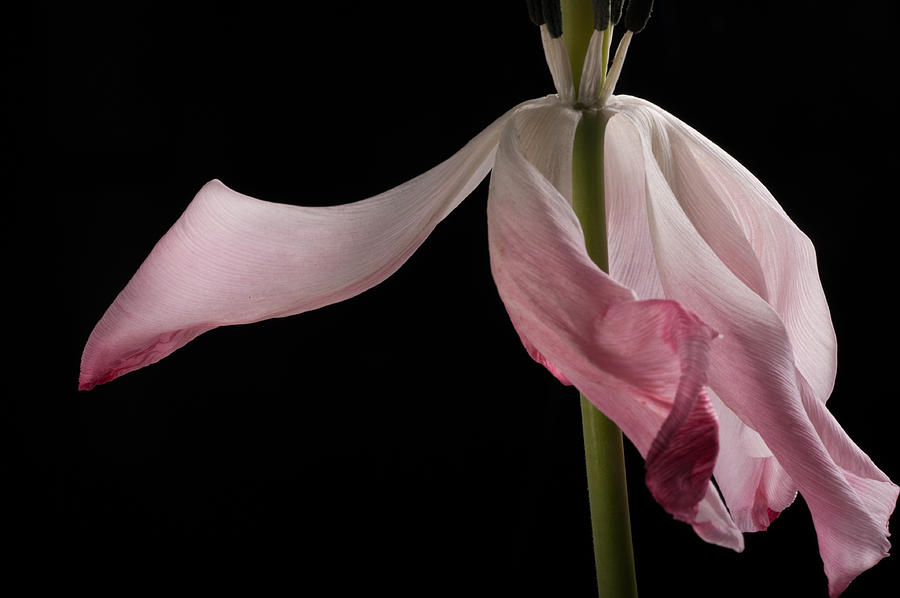 Tulip Photograph - Last Dance by Catherine Lau