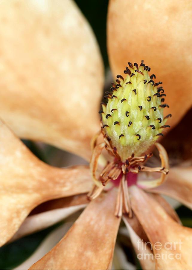 Macro Photograph - Last Days Of A Magnolia by Sabrina L Ryan