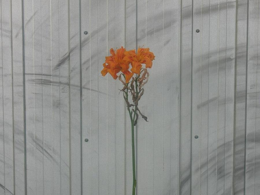 Last Flower by Alan Chandler