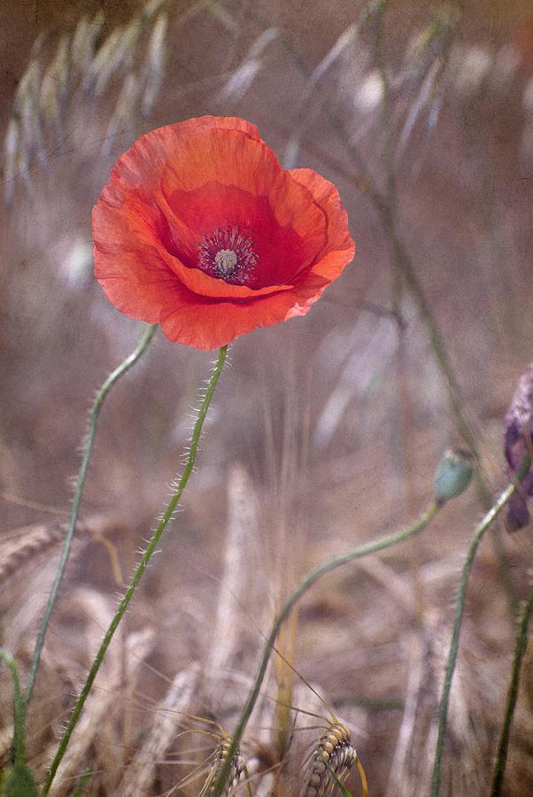 Poppy Photograph - Last Poppy by Guido Montanes Castillo