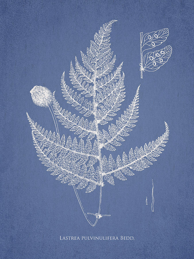 Fern Drawing - Lastrea Pulvinulifera by Aged Pixel