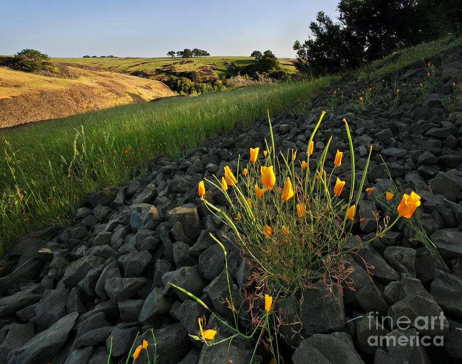 Poppies Photograph - Late Poppies On North Table Mountain by Matt Tilghman