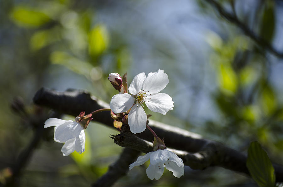 Green Photograph - Late Spring Blossom by Spikey Mouse Photography