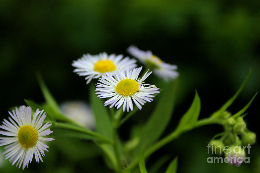 Daisy Photograph - Late Summer Bloom by Melissa Petrey