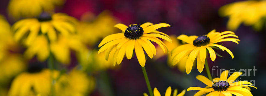Rudbeckia Fulgida Photograph - Late Summer Rudbeckia  by Tim Gainey