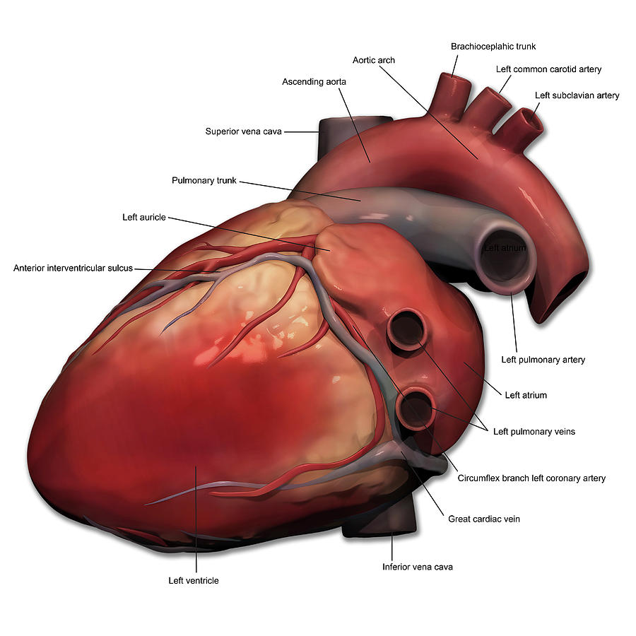 Lateral View Of Human Heart Anatomy Photograph By Alayna Guza