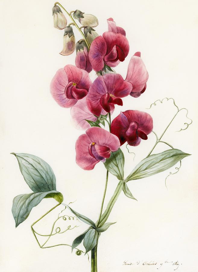 Still-life Painting - Lathyrus Latifolius Everlasting Pea by Louise D Orleans