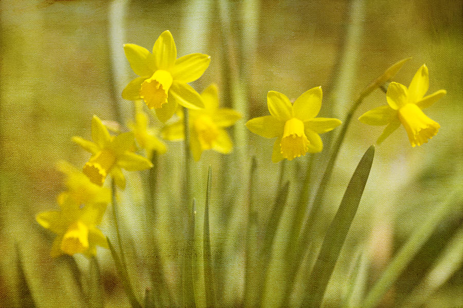 Narcissus Photograph - Laughing Dafs by Rebecca Cozart
