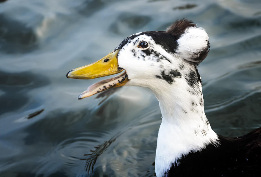 Duck Photograph - Laughing  Duck by Caitlyn  Grasso