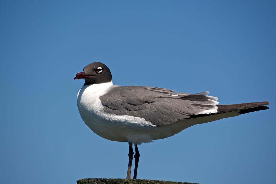 Assateague Photograph - Laughing Gull by Kathi Isserman