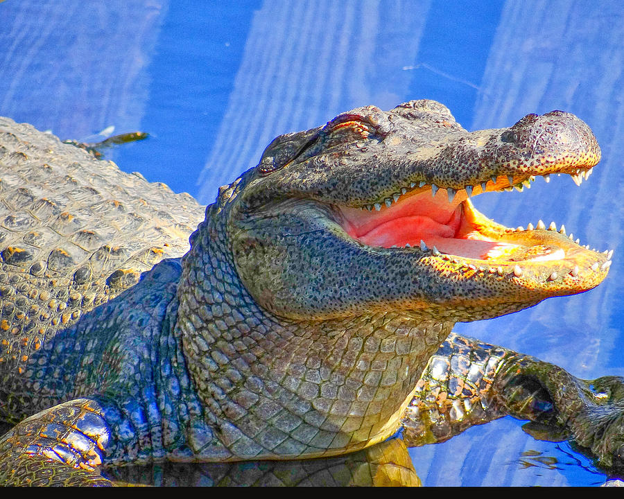 Alligator Photograph - Laughing In The Morning Sun by Dennis Dugan