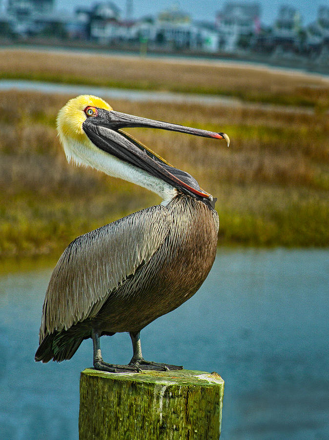 Laughing Pelican by Sandra Anderson