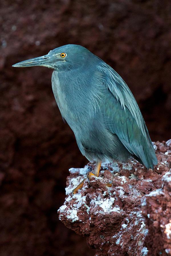 Galapagos Islands Photograph - Lava Lover by David Beebe