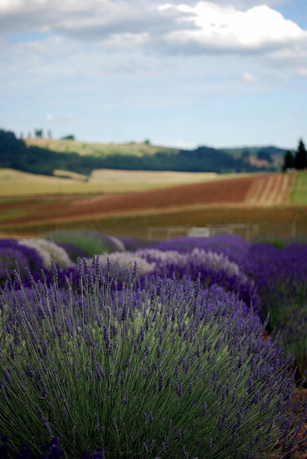 Lavender Photograph - Lavendar Fields Forever by Mamie Gunning