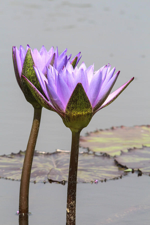 Flowers Photograph - Lavendar Waterlily by Jill Bell