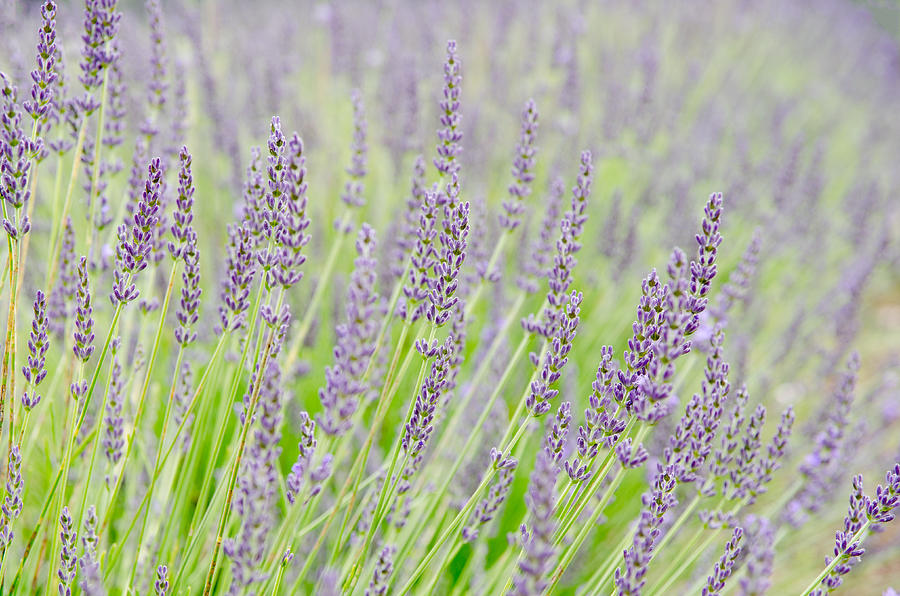 Getty Photograph - Lavender 1 by Rob Huntley