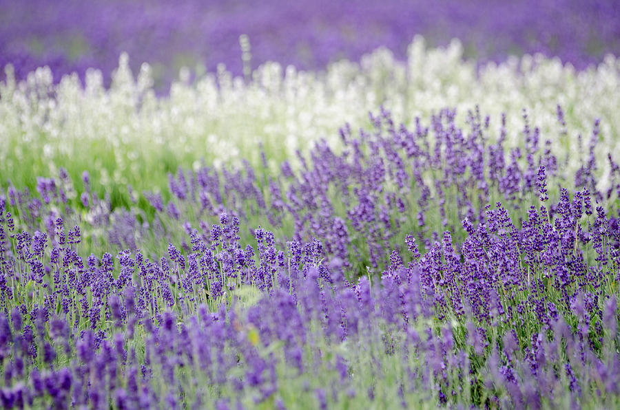 Getty Photograph - Lavender 4 by Rob Huntley