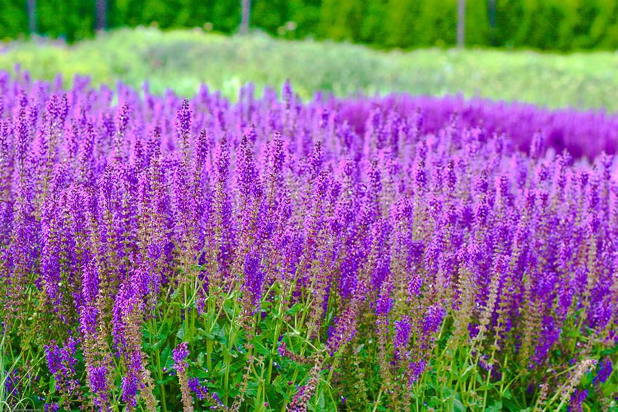 Lavender Photograph - Lavender by Allan Millora