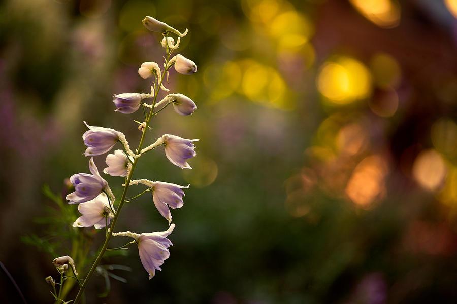 Delphinium Photograph - Lavender Delphinium by Bonnie Bruno
