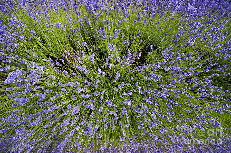 Lavender Photograph - Lavender Explosion by Tim Gainey