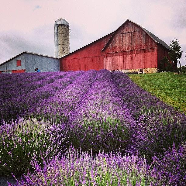Landscape Photograph - Lavender Farm Landscape by Christy Beckwith