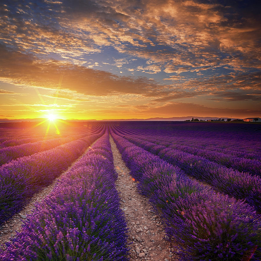 Lavender Field At Sunset Photograph by Mammuth