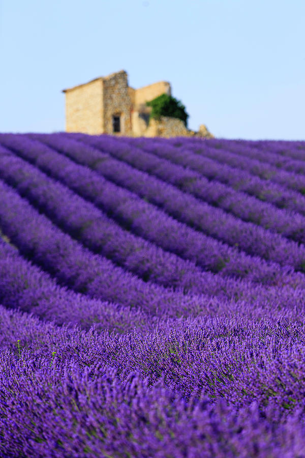 Lavender Field At Sunset Photograph by Republica