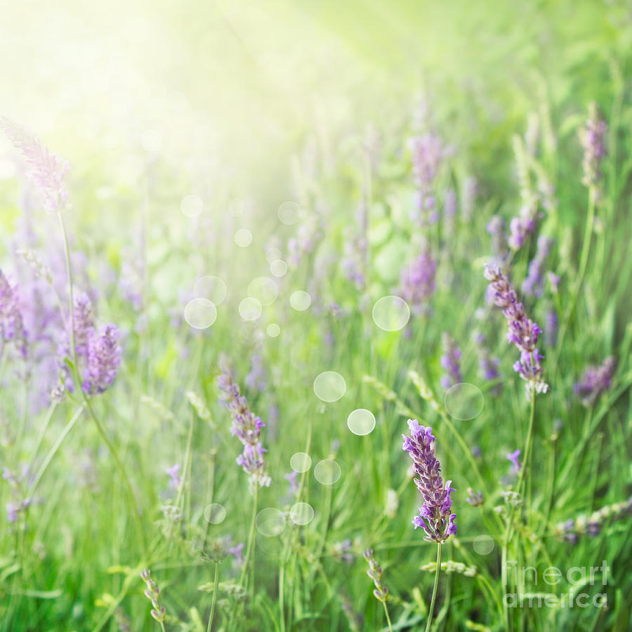 Field Photograph - Lavender Field Background by Mythja  Photography