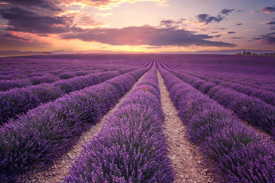 Lavender field in Provence, France (Plateau de Valensole) Photograph by Mammuth