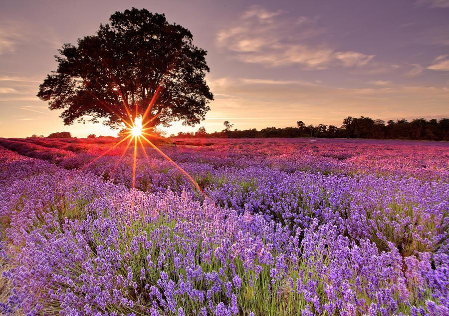 Lavender Field Photograph by Sandra Kreuzinger