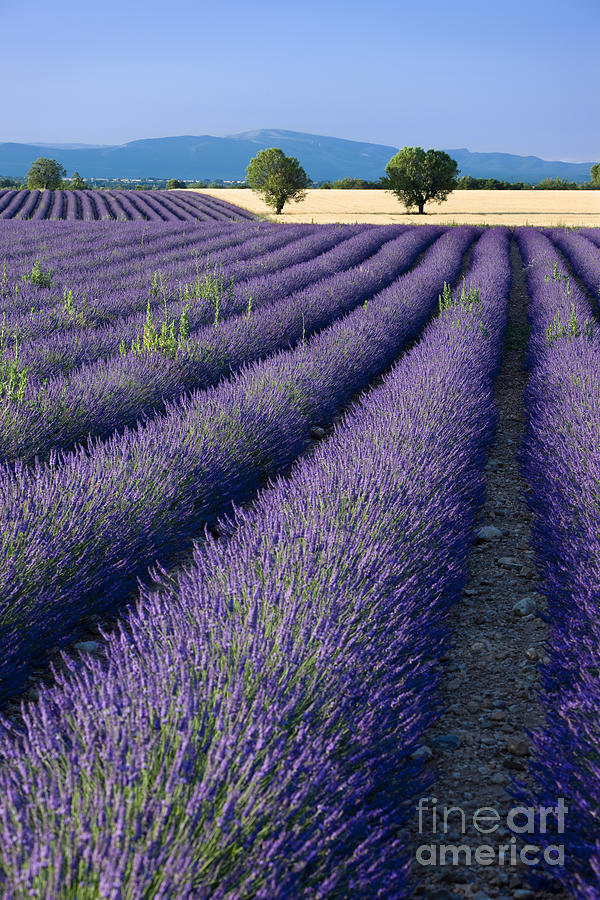 Lavender Photograph - Lavender Fields by Brian Jannsen