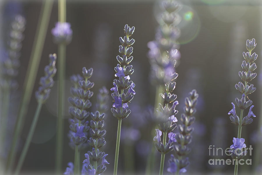 Lavender Photograph - Lavender Flare. by Clare Bambers